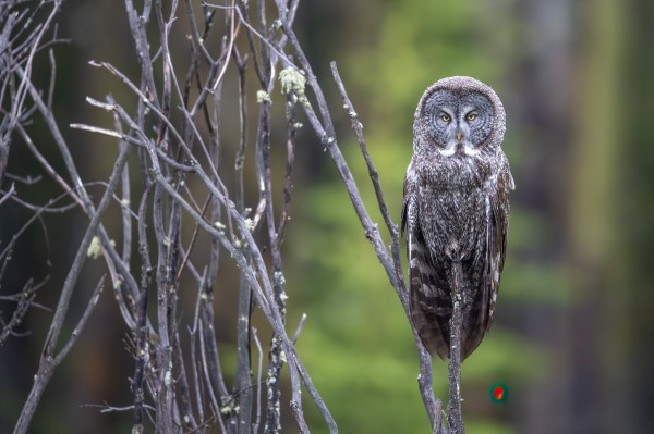 Great Grey Owl - Portait by Ken Anderson Photography