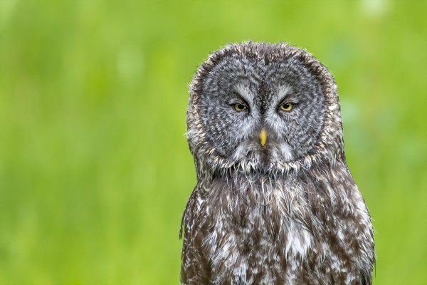 Great Grey Owl - Grey on Green by Ken Anderson Photography