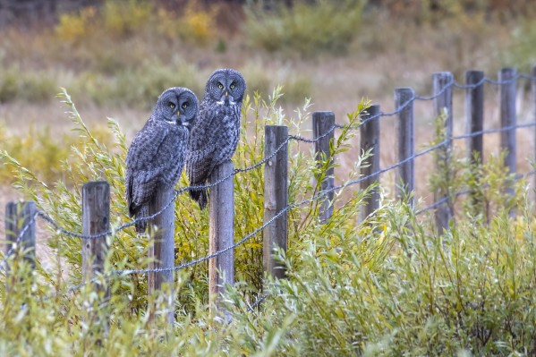 Seeing double - Great Grey Owl by Ken Anderson Photography