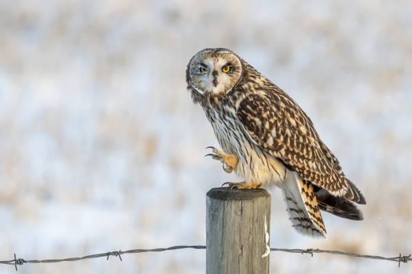 Short Eared Owl - Just an Itch by Ken Anderson Photography