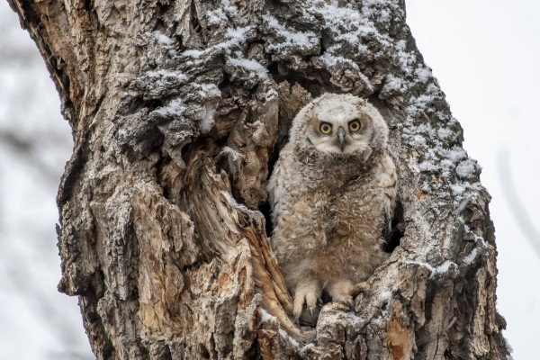 Great Horned Owlet - Can I come out yet by Ken Anderson Photography