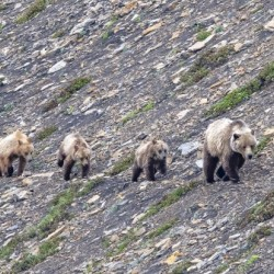 Grizzly Bear Family - Walk this way. by Ken Anderson Photography