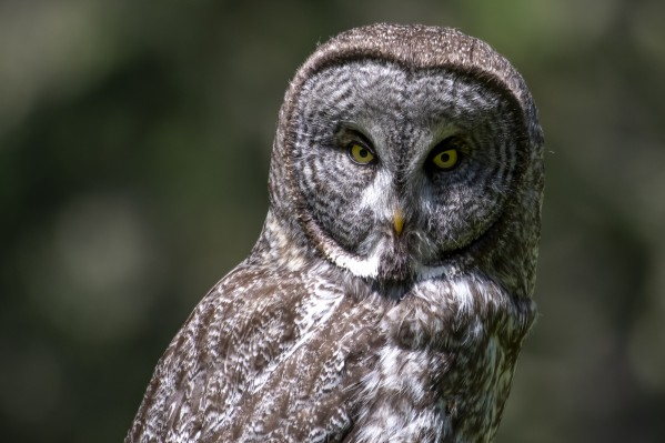 Great Grey Owl - Up close by Ken Anderson Photography