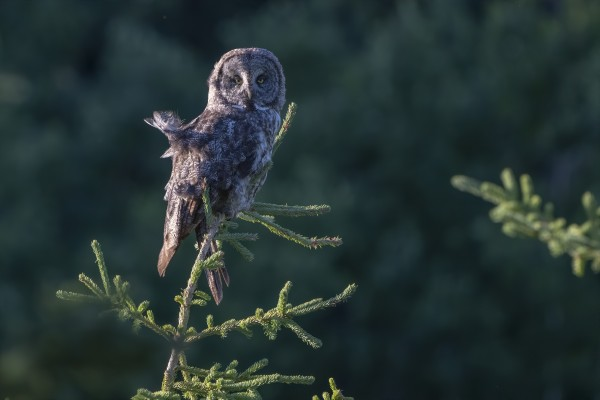 Great Grey Owl - Tree Top Hunting by Ken Anderson Photography