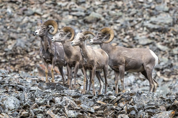 Big Horn Sheep - Family Portrait by Ken Anderson Photography