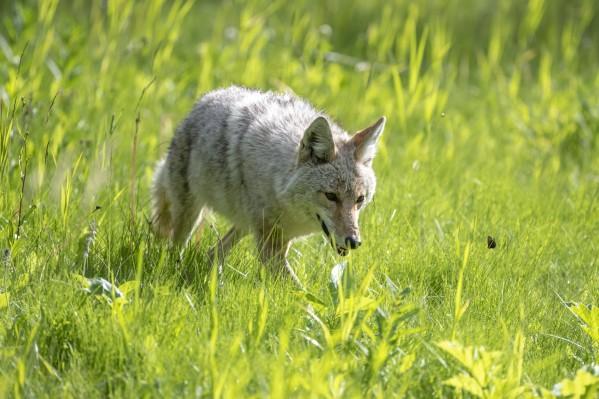 Coyote - Meadow Walk by Ken Anderson Photography