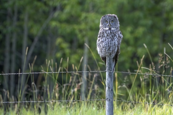 Great Grey Owl - Henry by Ken Anderson Photography