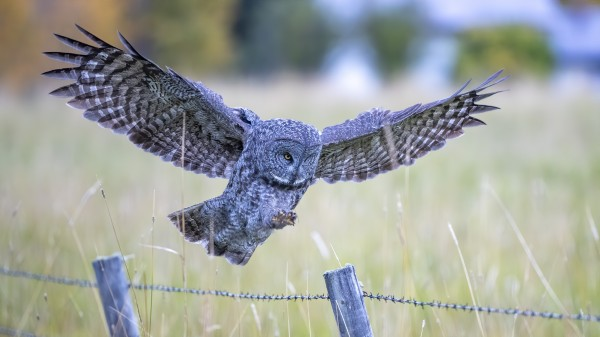 Great Grey Owl - Final Approach by Ken Anderson Photography