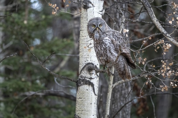 Great Grey Owl - Its Just a Snack by Ken Anderson Photography