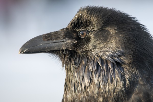 Raven - Up Close by Ken Anderson Photography