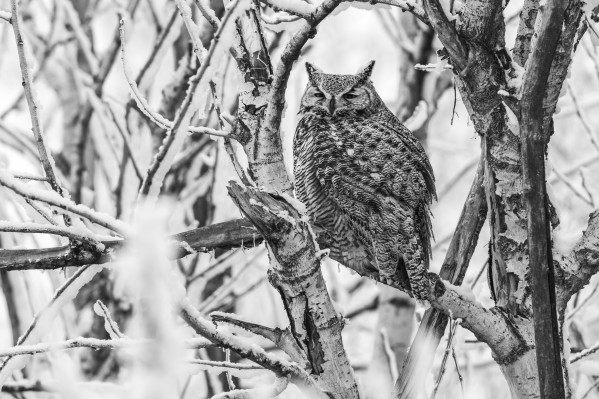 4677 - Great Horned Owl by Ken Anderson Photography