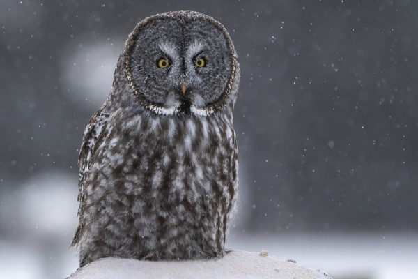 Great Grey Owl - Hunting at Sunset by Ken Anderson Photography