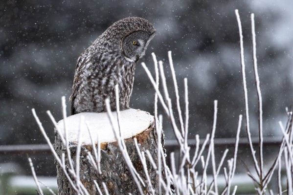 Great Grey Owl - Hunting by Ken Anderson Photography