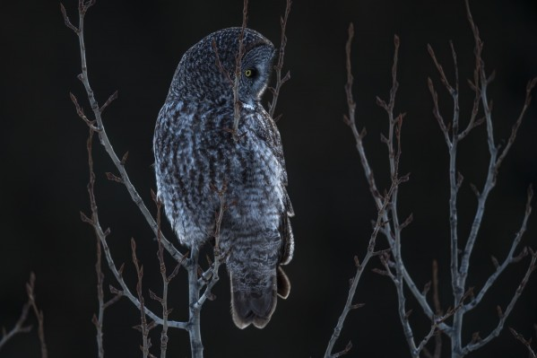 Great Grey Owl - After sunset by Ken Anderson Photography