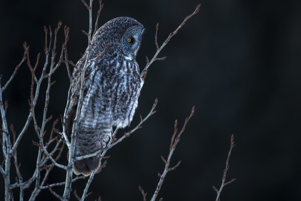 Great Grey Owl by Ken Anderson Photography