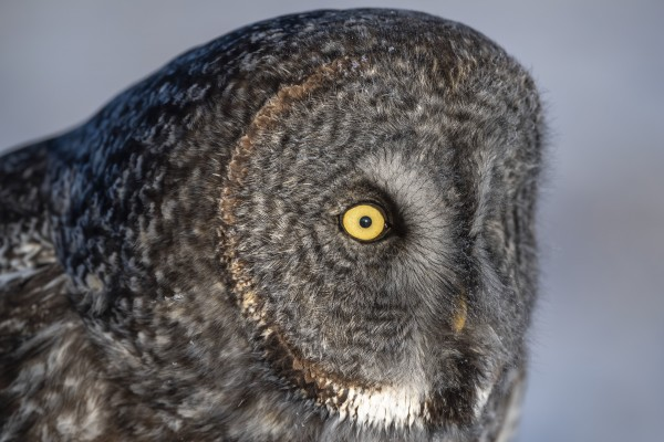 Great Grey Owl up Close by Ken Anderson Photography