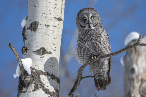 0260 - Great Grey Owl by Ken Anderson Photography