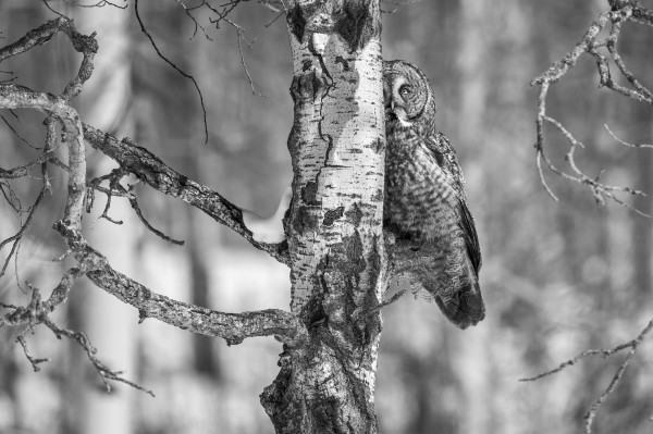 9896 - Great Grey Owl by Ken Anderson Photography