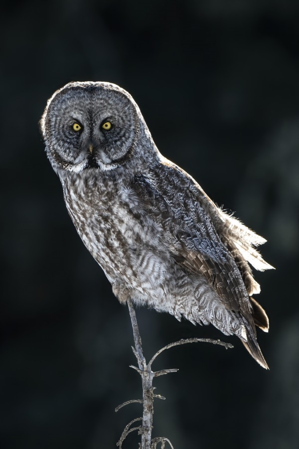 1940 - Great Grey Owl by Ken Anderson Photography