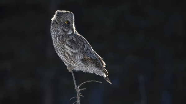 Great Grey Owl Back Lite  Alberta Canada by Ken Anderson Photography