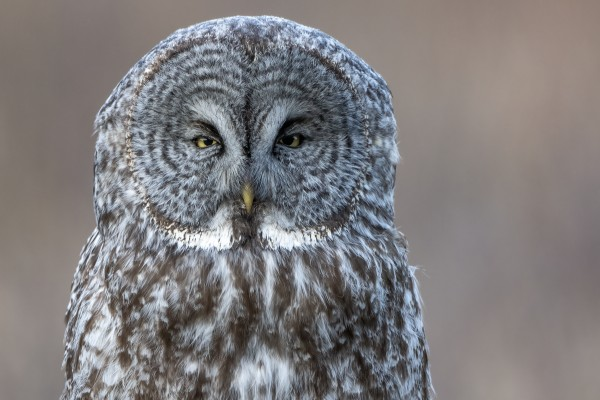 2589 - Great Grey Owl by Ken Anderson Photography