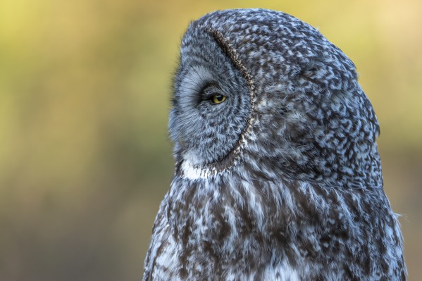 2656 - Great Grey Owl by Ken Anderson Photography