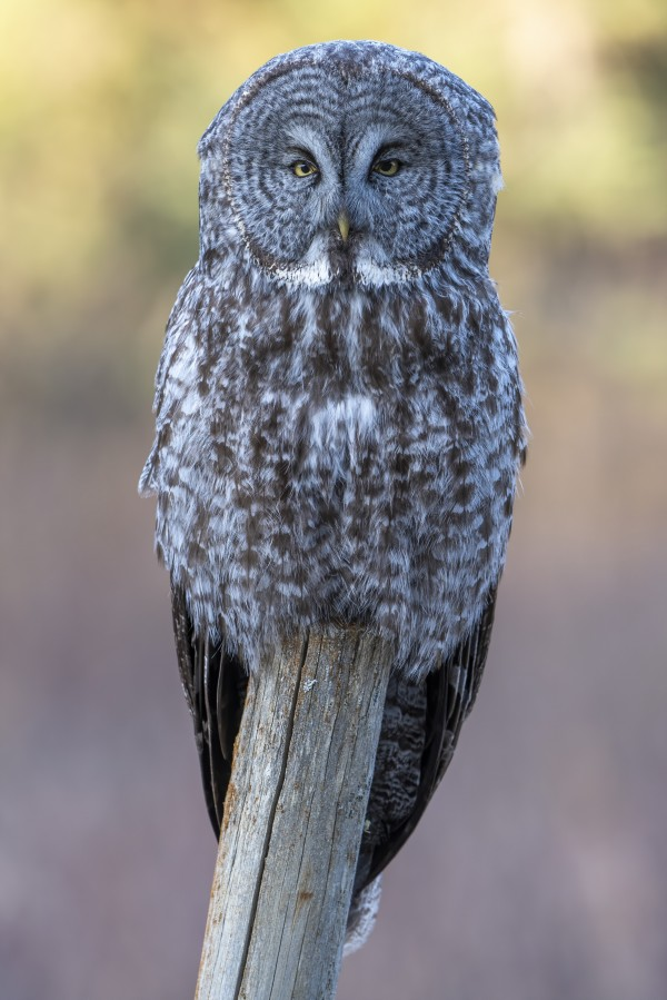 2668 - Great Grey Owl by Ken Anderson Photography