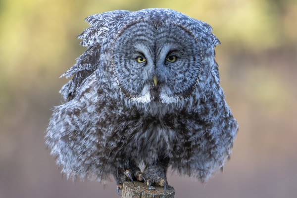 2684 - Great Grey Owl by Ken Anderson Photography