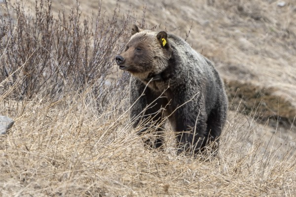 6897 - Grizzly Bear 2160 by Ken Anderson Photography
