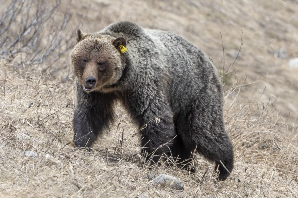 6970 - Grizzly Bear 2160 by Ken Anderson Photography