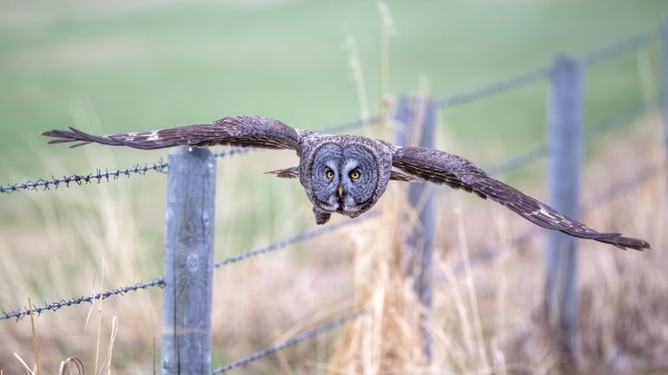 9699 - Great Grey Owl by Ken Anderson Photography