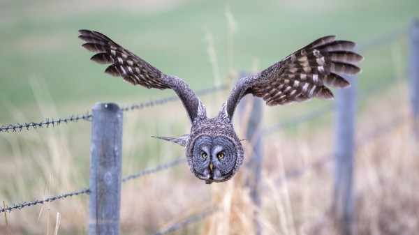 9700 - Great Grey Owl by Ken Anderson Photography
