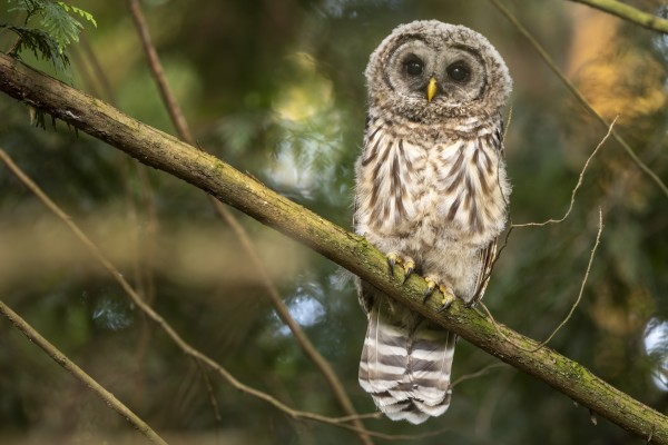5338 - Barred Owlet by Ken Anderson Photography