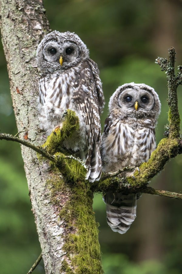 5405 - Barred Owlets -  Vancouver Island  Canada by Ken Anderson Photography