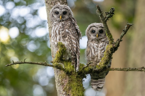 5412 - Barred Owlets by Ken Anderson Photography