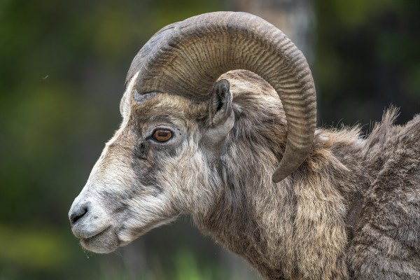 5513 - Big Horn Sheep  Banff National Park Canada by Ken Anderson Photography