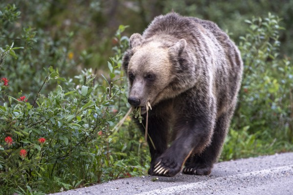 0037 - Grizzly Bear with Dandelions in Banff National Park Canada. by Ken Anderson Photography