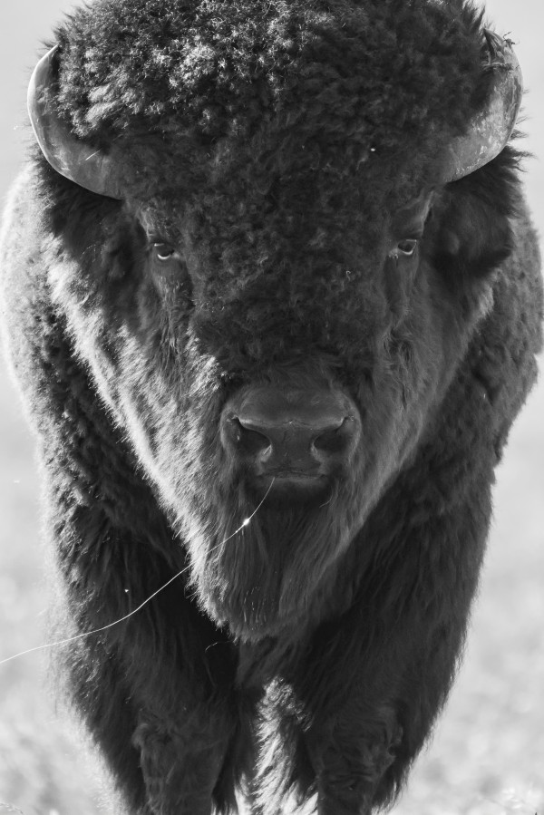7893 - Buffalo by Ken Anderson Photography