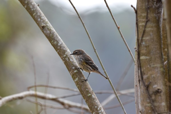 Yellow-rumped Warbler 4 by LambySnaps