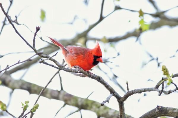 attack Cardinal by LambySnaps