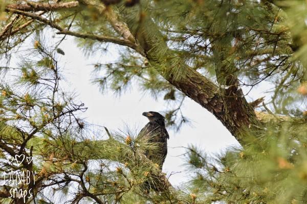 Baby Eagle by LambySnaps