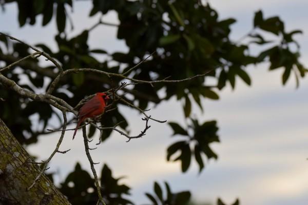 Cardinal 2 by LambySnaps