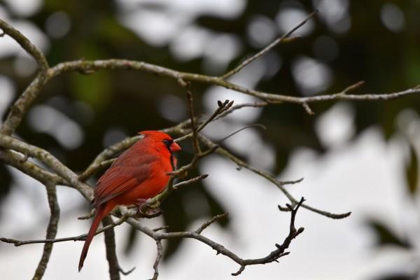 Cardinals 4 by LambySnaps