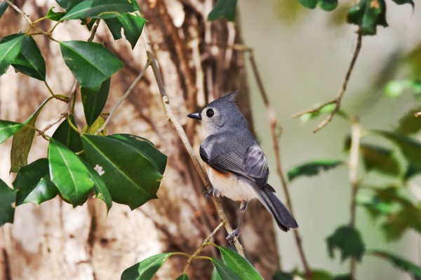 Tufted Titmouse by LambySnaps