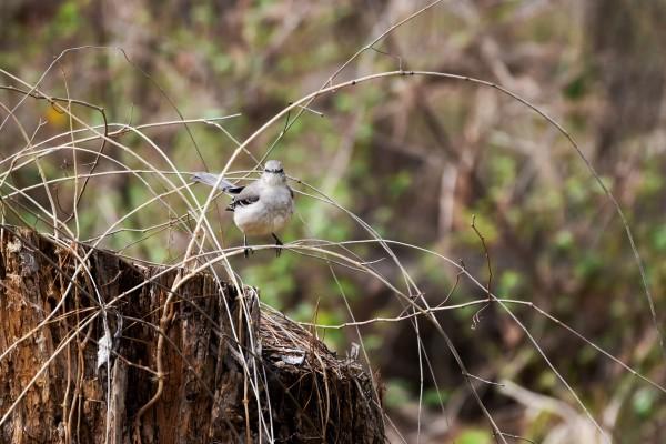 Angry Mockingbird 2 by LambySnaps
