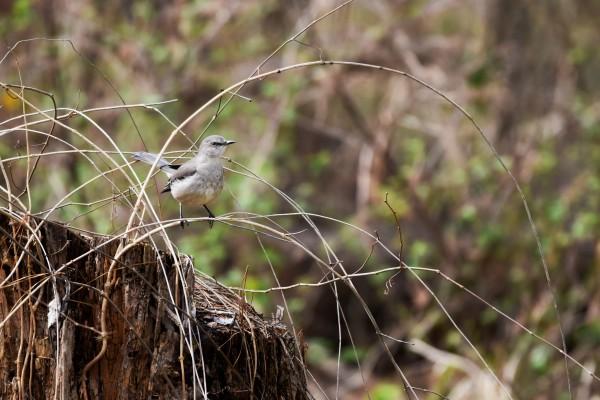 Angry Mockingbird by LambySnaps