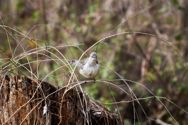 Angry Mockingbird 3 by LambySnaps