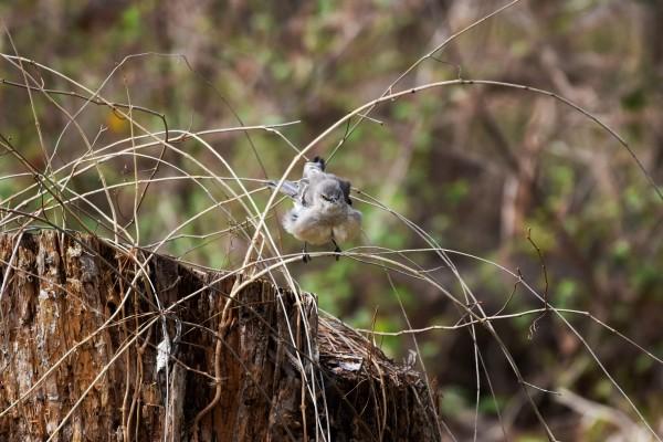 Angry Mockingbird 4 by LambySnaps