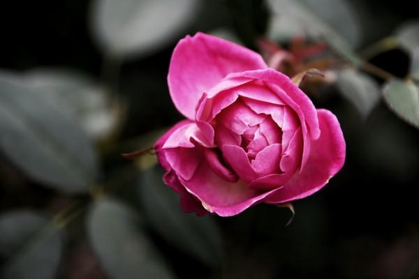 Single Rose by LambySnaps