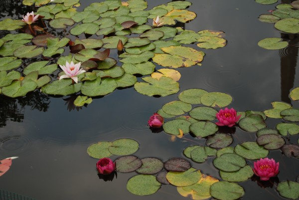 Lily Pond by Matthew Ulisse